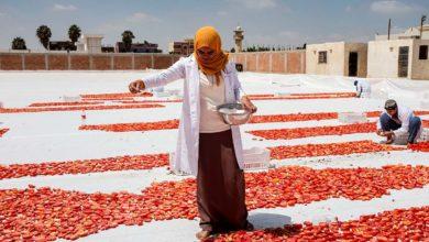 Samar Ibrahim, spreading salt on cut tomators in Egypt. Photo ©FAO/Heba Khamis